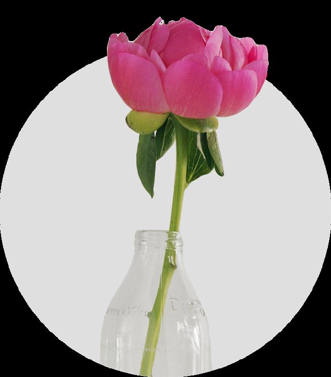 Peony PinkЖизнестойкий, очень мощный сорт. Махровый цветок диаметром 20 см, прекрасной бокаловидной формы, ярко-розовый с сиреневым отливом. Лепестки крупные, округлые. Куст компактный. Высота 100 см.
