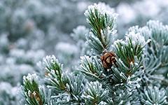 Вечно зеленый гигантКедр Сибирский – хвойное вечнозеленое растение. Он славится своей невероятной высотой. Средняя высота дерева достигает 25 метров, Но часто встречаются кедры 40–50 метров.Кедр – красивое, стройное дерево, любит солнечный свет, и является самым древним представителем своего рода (около 100 млн лет).