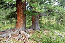 Дерево долгожительКедр – долгожитель: его возраст может достигать 400 лет. При благоприятных условиях дерево может жить и 800 лет.Саженцы Кедра Сибирского чрезвычайно зимостойки и не боятся суровых зим. Сибирский кедр среди хвойных пород — наиболее дымоустойчивое дерево и может разводиться в больших индустриальных городах.