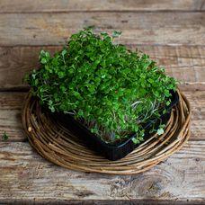 Микрозелень «Рукола»