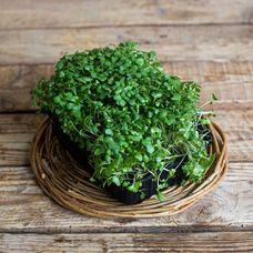 Микрозелень брокколи