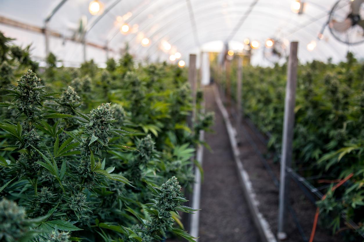 Теплица для конопли в домашних условиях шишкин семена марихуаны