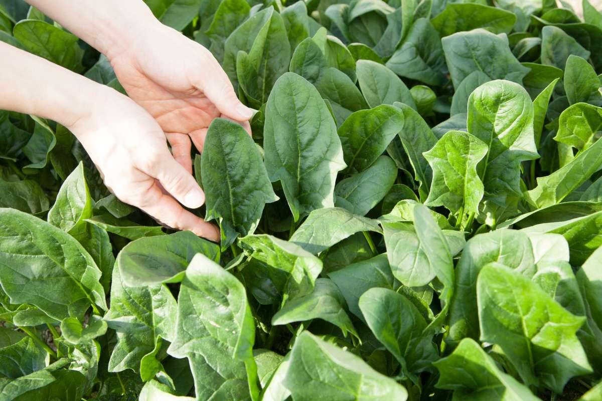 Ученые научили шпинат отправлять электронные письма. Это поможет в сельском хозяйстве и в мониторинге климата