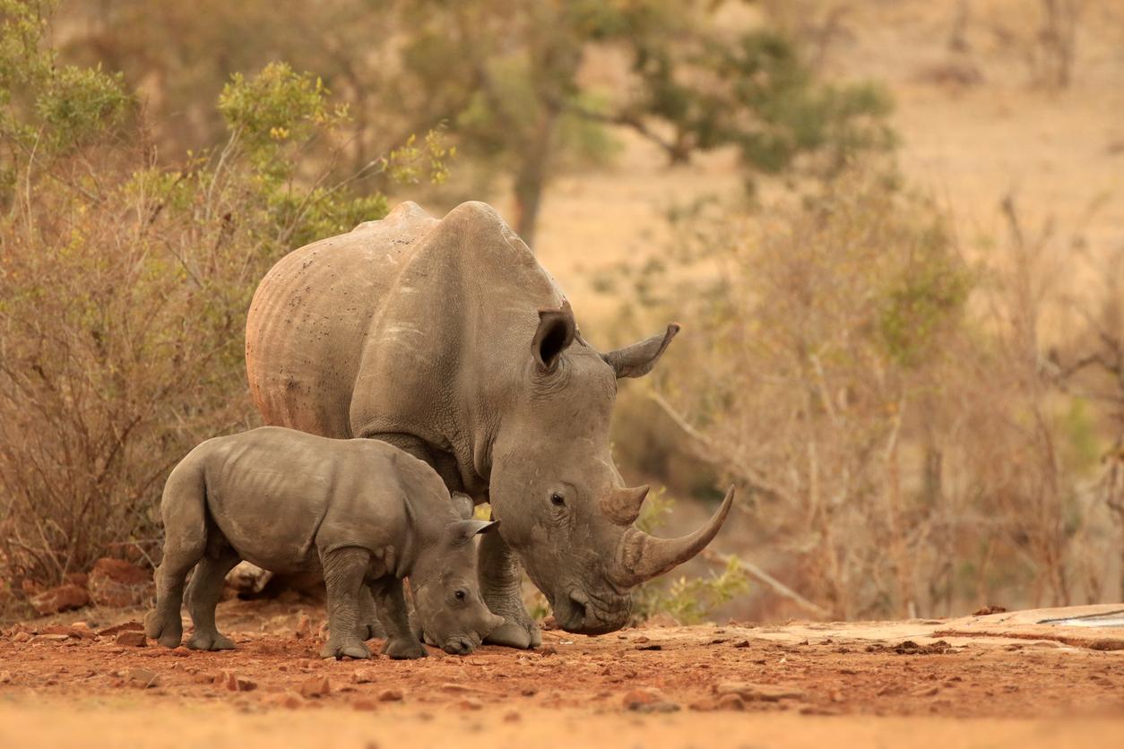 Ученые будут вживлять в рога носорогов радиоактивные изотопы, чтобы спасти их от браконьеров