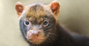 Посмотрите на родившихся в зоопарке щенков кустарниковых собак