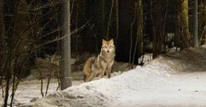 По поселению Внуковское гуляет волк