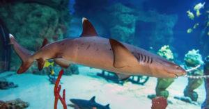 В «Москвариуме» родился первый белоперый акуленок