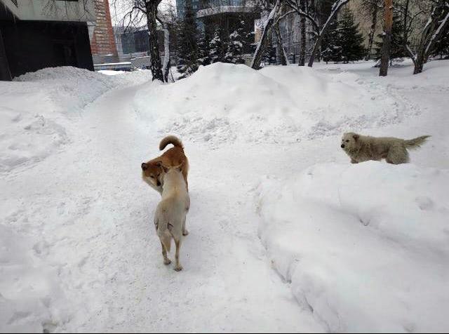 В Новосибирске стая собак напала на женщину
