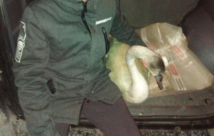В Омске местные подростки спасли с замерзающего озера четырех лебедей