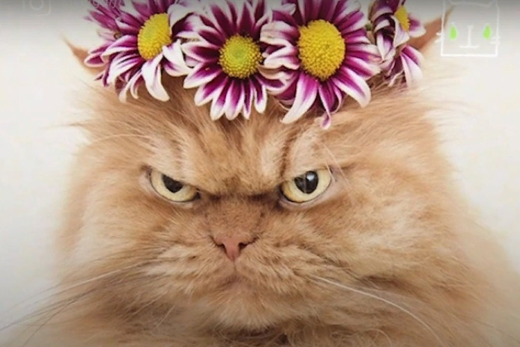 Ласковый кот забавляет всех сердитой мордой. Видео