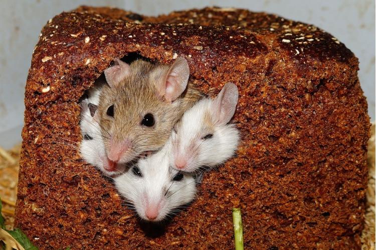 Хвостатые не дремлют! Дератизация помещений поможет избежать мышиной лихорадки