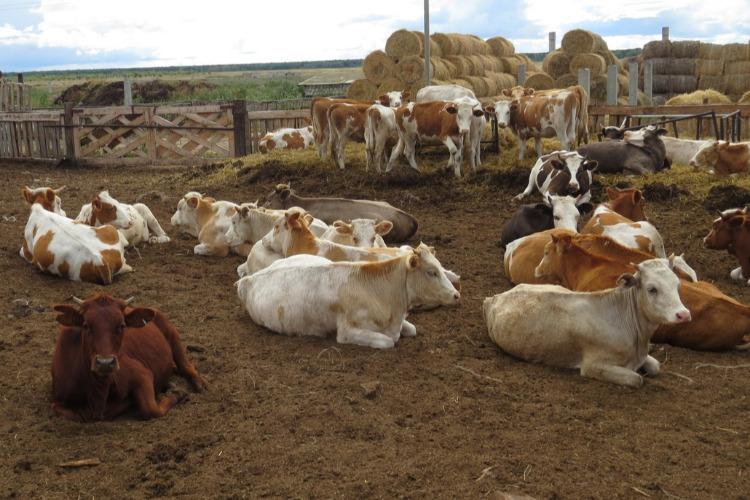 33 коровы по пути от ЛПХ к КФХ