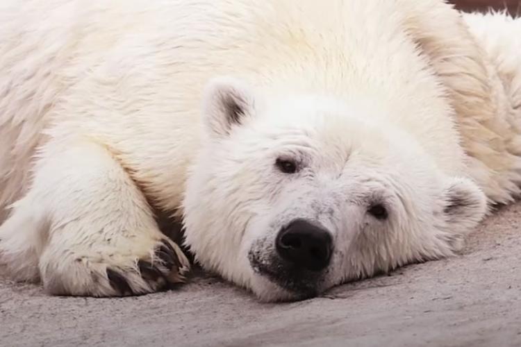 Белый медведь проплыл более 700 км, чтобы обратиться за помощью к людям. Видео