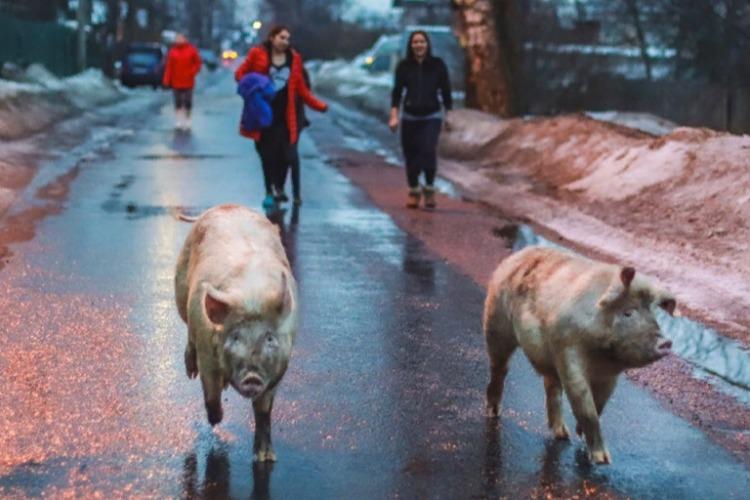 Кому помешали цыганские свиньи?