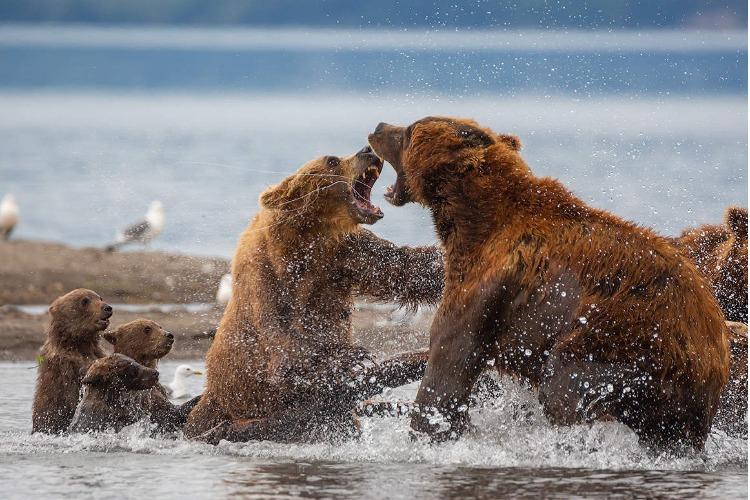 Мама-медведица защищает своего ребенка. Видео
