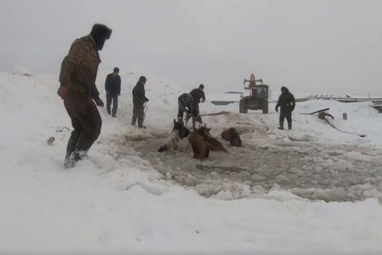 Табун лошадей ушел под лед. Видео