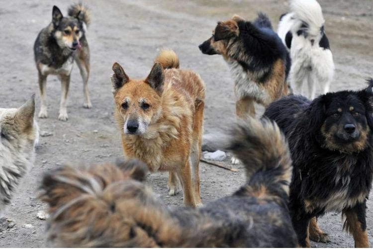 В Балакове никто не хочет отлавливать бродячих собак