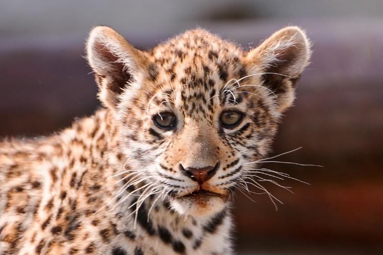 Детеныш леопарда попал в западню. Видео