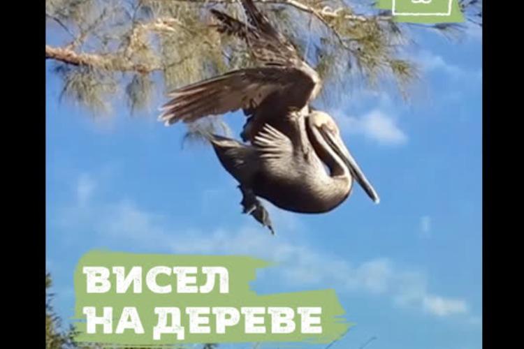 Пеликан запутался в рыболовной леске и повис на дереве. Видео