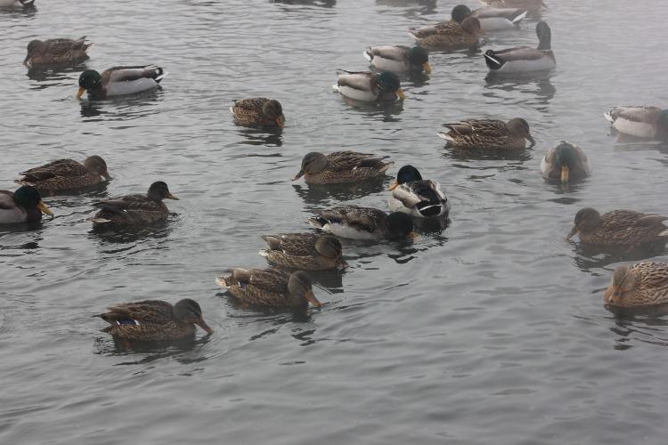 Помогите уткам на Больничных прудах выжить. Балаковский пенсионер каждый день кормит диких уток