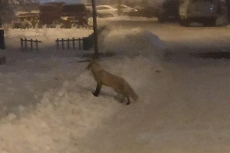 Под покровом темноты в 11 микрорайон Балакова пожаловала лисица