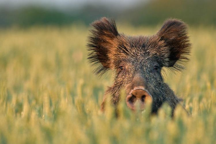 Карантин по африканской чуме свиней в Вольском районе отменен