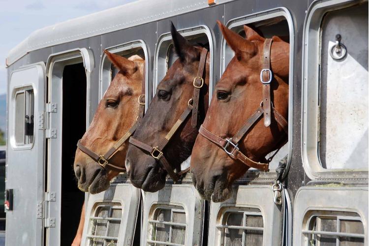 Сразу 7 завидных лошадей не смогли попасть в Киргизию, вернувшись в итоге на родной Кавказ