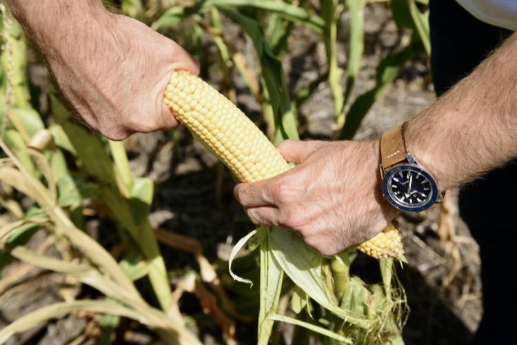 День Русского Поля без суматохи будней. Когда фермер кормит кукурузу, как дитя из ложки