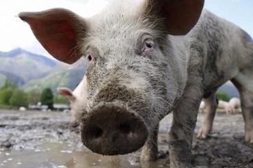 Бедолагу из Балакова оштрафовали за незаконнорожденную свинку