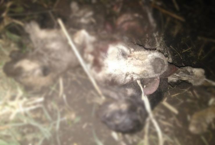 О чем говорят.  Живодеры закопали заживо щенков, а затем расчленили и съели их мать . Фото 18+