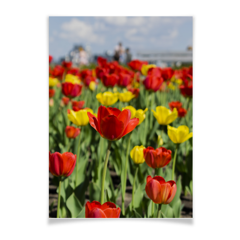 Printio Плакат A3(29.7×42) Тюльпаны
