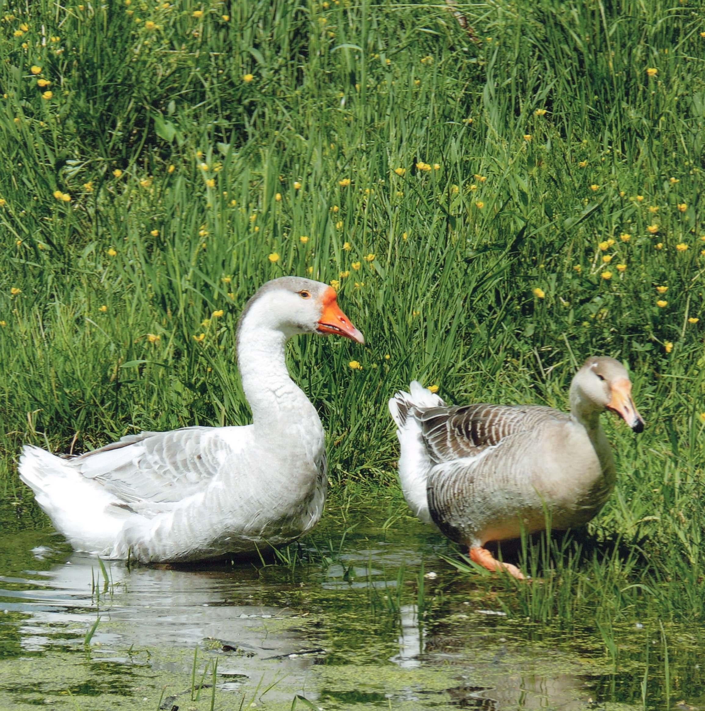 Арзамасский гусь: как эта птица прославила город и чем отличилась от других пород