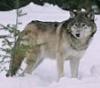 wolf_gray.livejournal.com