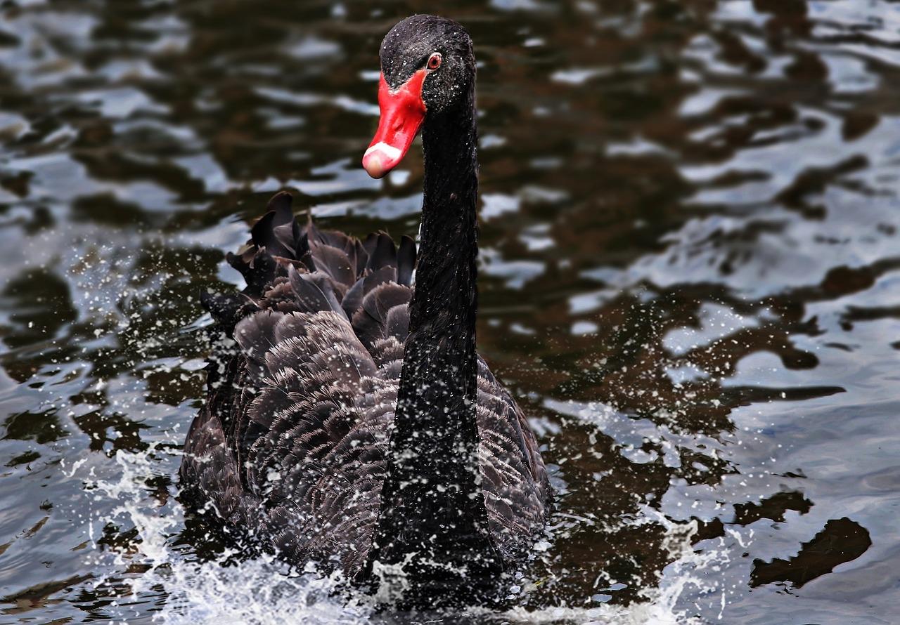 Word Story - Black Swan