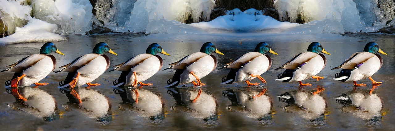 Word story – get/have your ducks in a row