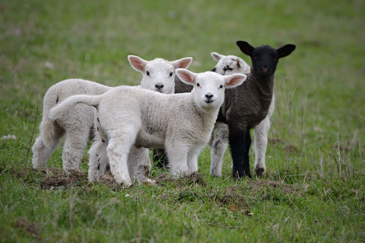 Word story – black sheep