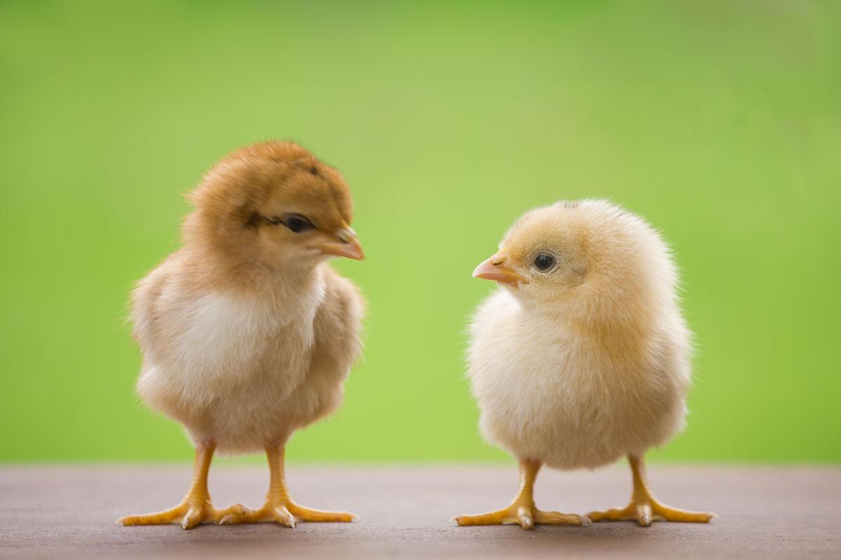 Word story – spring chicken