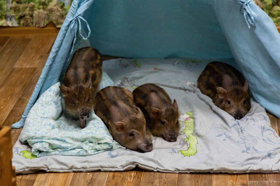 Фото Невозможно устоять: семейство мини-пигов влюбляет в себя новосибирцев 7