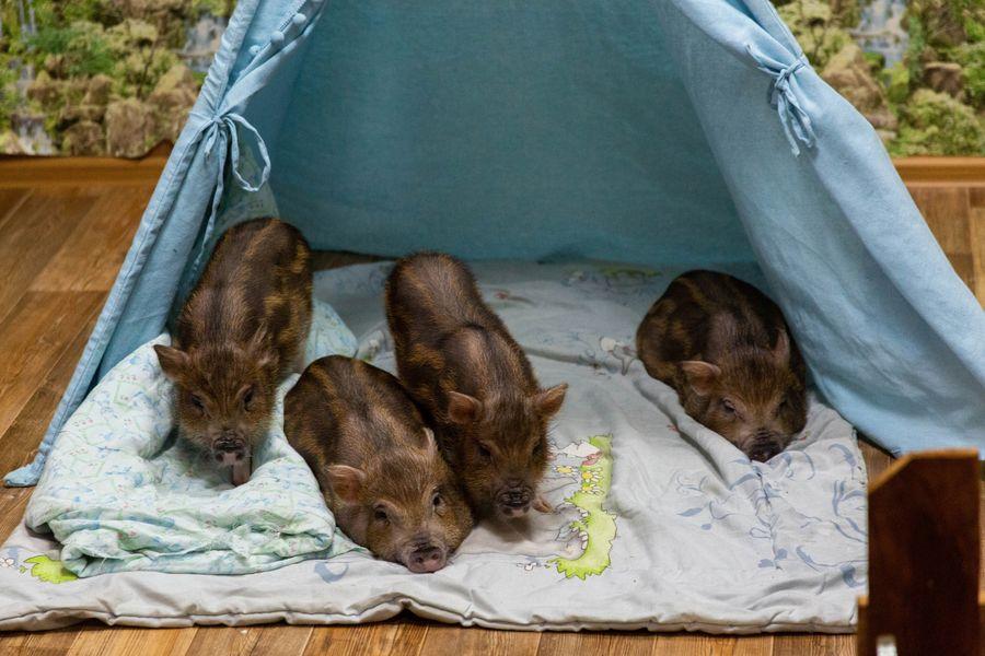 Фото Невозможно устоять: семейство мини-пигов влюбляет в себя новосибирцев 9