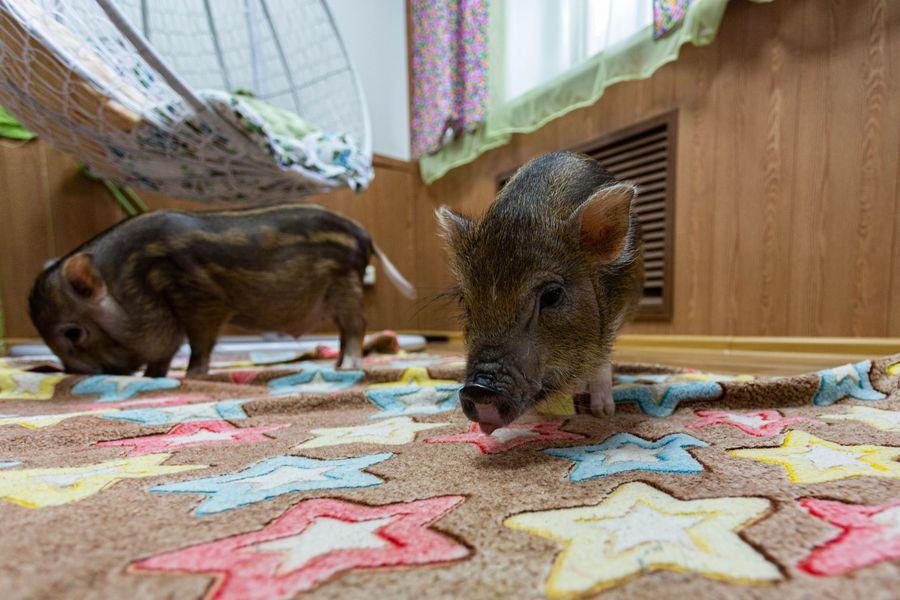 Фото Невозможно устоять: семейство мини-пигов влюбляет в себя новосибирцев 11