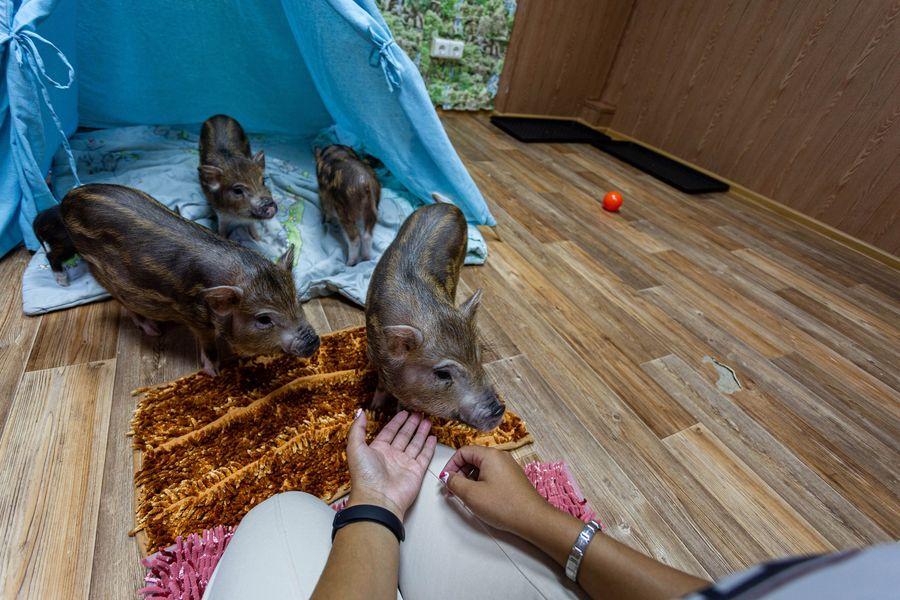 Фото Невозможно устоять: семейство мини-пигов влюбляет в себя новосибирцев 16