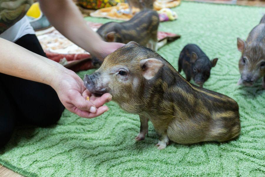 Фото Невозможно устоять: семейство мини-пигов влюбляет в себя новосибирцев 19