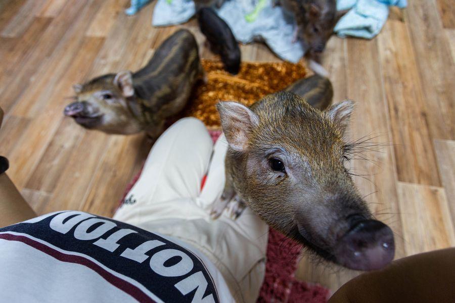 Фото Невозможно устоять: семейство мини-пигов влюбляет в себя новосибирцев 20