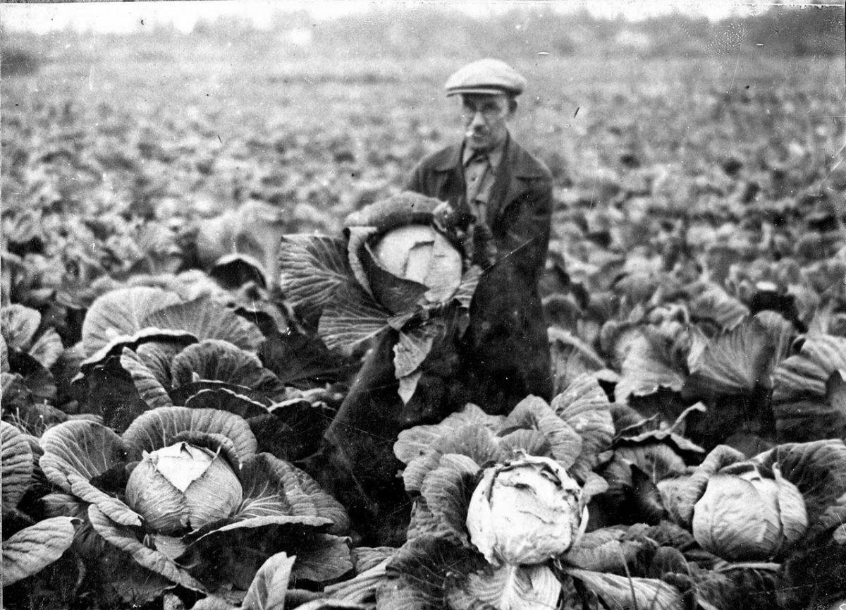 Плантации капусты Тауйского сельскохозяйственного комбината. Конец 30-х годов ХХ-го века.